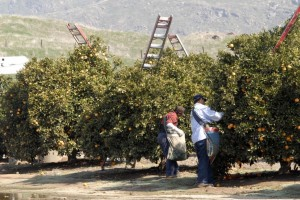 Farm workers harvesting oranges in Fresno county, California (Photo by Eduardo Stanley)