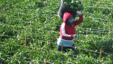 A worker harvests bell peppers. Advocates say workers may put up with intolerable conditions for fear that complaining will cost them their jobs, and their visas, in favor of workers here illegally. (Photo courtesy Farmworker Justice)