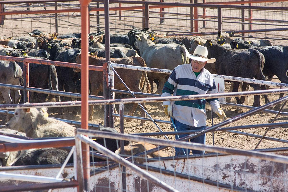 Cattle_Cowboy-web
