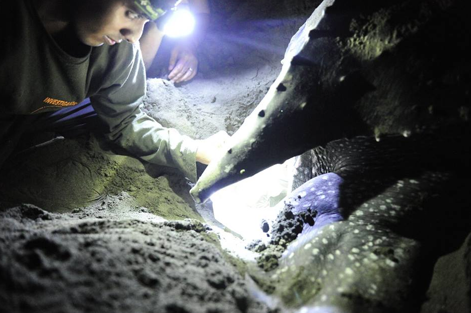 Jairo Mora Sandoval watches as a leatherback sea turtle lays its eggs.