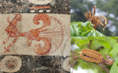 2-pachira-acuatica-maya-archaeology