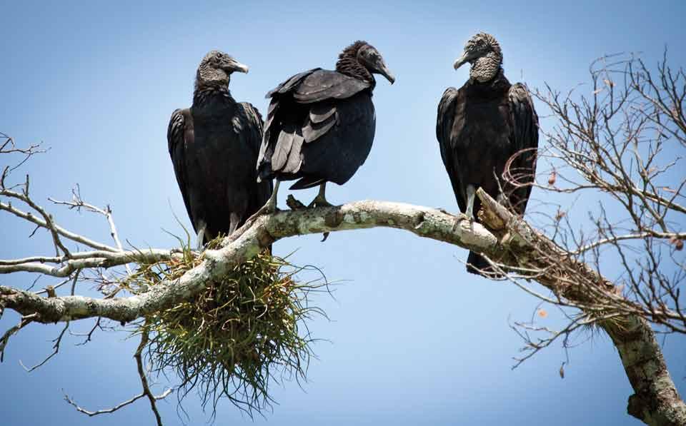 black_vulture_Rio-de-la-Pasion-Hellmuth