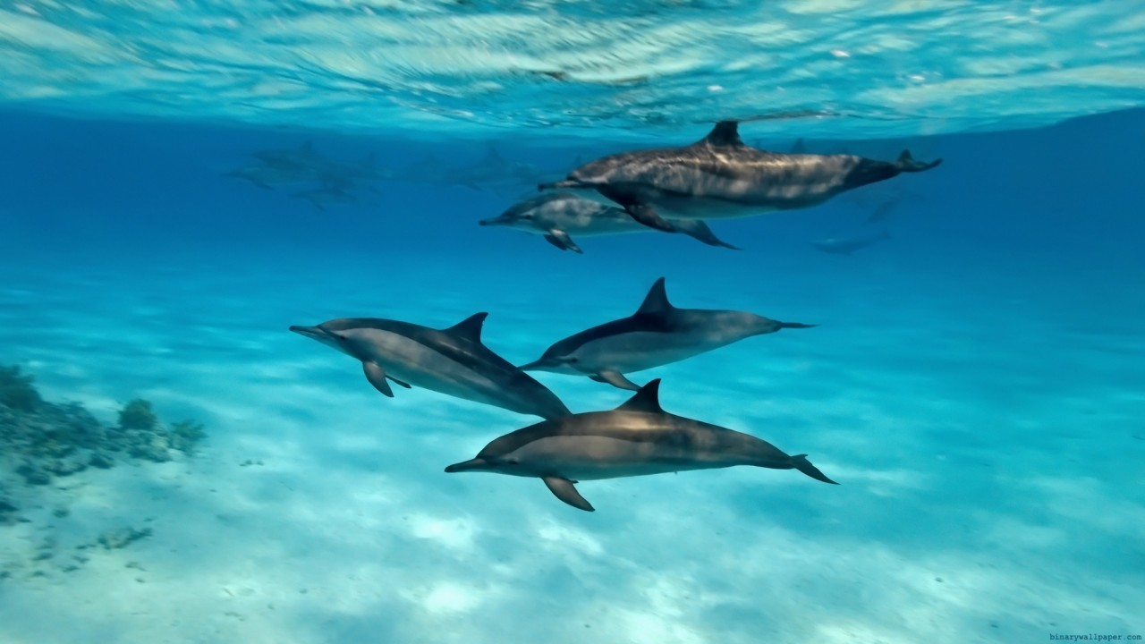 dolfin-bottlenosed-dolphins-group-123651