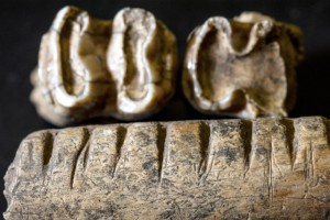 "The jawbone and teeth of a tapir, a pig-like mammal that inhabits the Maya region, show carvings called ""rasps"" made by an ancient Maya. Researchers think these bones were used as musical instruments by rubbing a stick over the surface. (Credit: Jeff Gage)"