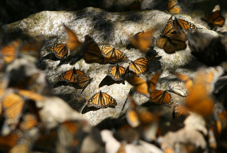 Monarchs_resting_on_rocks-750x504